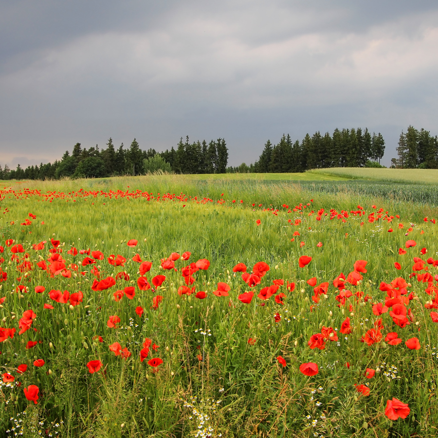 remembrance-day-poppy-field