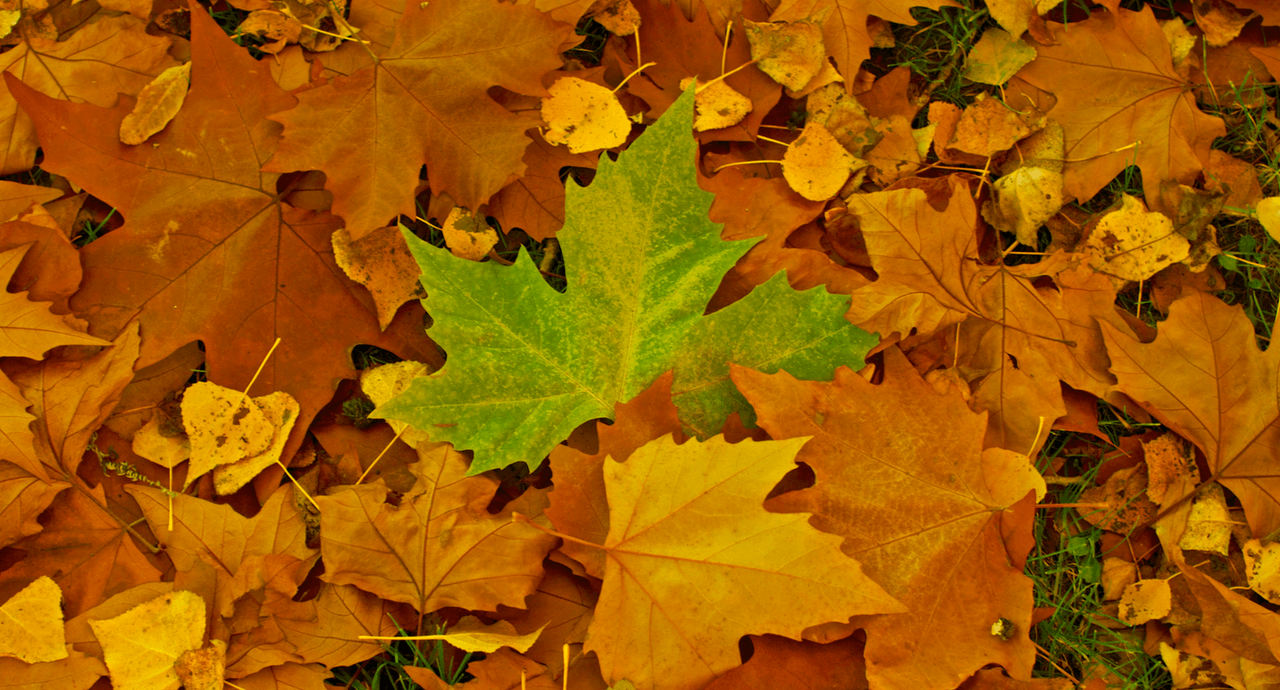 happy-fall-from-pacesetter-leaves.png